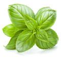 Fresh sweet Genovese basil leaves isolated on white background cutout. - PhotoDune Item for Sale