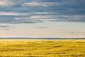 Ripe wheat field in evening sun under dramatic sky - PhotoDune Item for Sale