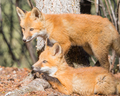 Red Fox Puppies observing forest surroundings - PhotoDune Item for Sale