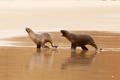 Male Hookers sealion chasing female in courtship - PhotoDune Item for Sale
