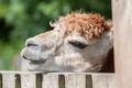 sleepy alpaca - PhotoDune Item for Sale