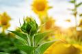 Sunflowers at field under blue sky somewhere in Ukraine - PhotoDune Item for Sale