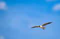 Flying seagull, Chroicocephalus ridibundus, against blue sky - PhotoDune Item for Sale