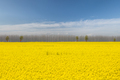 beautiful rapeseed flower fields in spring - PhotoDune Item for Sale