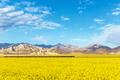 rapeseed flowers bloom on the plateau - PhotoDune Item for Sale