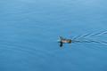 eurasian coot on lake - PhotoDune Item for Sale