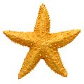 Yellow starfish souvenir, handmade decoration - PhotoDune Item for Sale