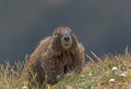 Yellow Bellied Marmot in the Tundra - PhotoDune Item for Sale