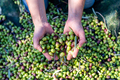Woman keeps in her hands some of harvested fresh olives in a field, top view - PhotoDune Item for Sale