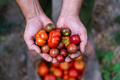 Fresh small, red tomatoes in farmer hands, top view - PhotoDune Item for Sale