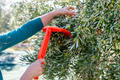 Woman harvesting fresh olives from a tree with rake - PhotoDune Item for Sale