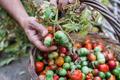 Man's hands harvesting fresh organic tomatoes in his garden - PhotoDune Item for Sale