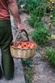 Farmer holding basket with fresh organic tomatoes - PhotoDune Item for Sale