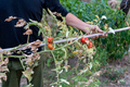Man is holding drying tomato plant, the end of the growing season. - PhotoDune Item for Sale