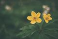 Adonis vernalis yellow wildflower - PhotoDune Item for Sale