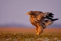 Eastern imperial eagle - Aquila heliaca - PhotoDune Item for Sale