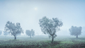 Olive grove in a foggy morning. Bolgheri, Tuscany, Italy - PhotoDune Item for Sale