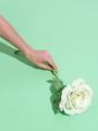 Hand holding white roses minimalist scene. Spring,summer, greeting card concept - PhotoDune Item for Sale