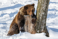 Wild adult Brown Bear (Ursus Arctos) in the winter forest. Dangerous animal in natural habitat - PhotoDune Item for Sale