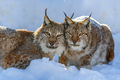 Two Lynx in the snow. Wildlife scene from winter nature - PhotoDune Item for Sale