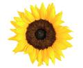 Sunflower on white background - PhotoDune Item for Sale