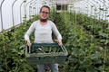 Woman standing in a poly tunnel, holding crate with freshly picked courgettes. - PhotoDune Item for Sale