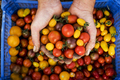 High angle close up of person holding bunch of freshly picked cherry tomatoes. - PhotoDune Item for Sale