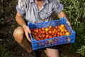 High angle close up person holding blue plastic crate with freshly picked cherry tomatoes. - PhotoDune Item for Sale