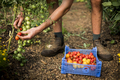 High angle close up of person picking cherry tomatoes on a farm. - PhotoDune Item for Sale
