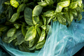 High angle close up of bag of freshly picked green basil. - PhotoDune Item for Sale