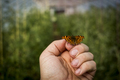 Close up of Comma butterfly on human hand. - PhotoDune Item for Sale