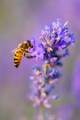 Bee pollinates the lavender flowers. Plant decay with insects - PhotoDune Item for Sale