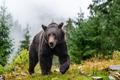 Wild adult Brown Bear  (Ursus Arctos) in the summer forest - PhotoDune Item for Sale