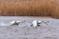 View of mute swan or Cygnus olor take wing on water - PhotoDune Item for Sale