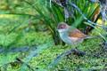 Lesser whitethroat or Sylvia curruca in the nature - PhotoDune Item for Sale