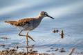 Wood sandpiper or Tringa glareola walks on lake - PhotoDune Item for Sale