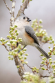 Tufted Titmouse Perched - PhotoDune Item for Sale
