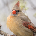 Northern Cardinal (Female) - PhotoDune Item for Sale