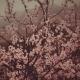 Sakura Garden - Asian Lofi