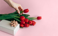 On a pink background, a bouquet of flowers and a gift wrapping box. Female hand holds a tulip flower - PhotoDune Item for Sale