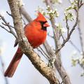 Northern Cardinal in Plum Tree - PhotoDune Item for Sale