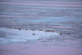 ducks on frozen Wadden sea coast - PhotoDune Item for Sale