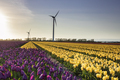 purple and yellow tulip field and windmills - PhotoDune Item for Sale