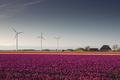 beautiful rural Dutch farmland with tulips - PhotoDune Item for Sale