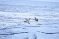 ducks flying over frozen Wadden sea at sunrise - PhotoDune Item for Sale