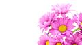 Chrysanthemum (Indicum Grp) tros Morreno Pink isolate - PhotoDune Item for Sale