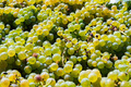 Close-up of white wine grapes under the sun background - PhotoDune Item for Sale