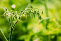 Green Growing Organic Tomato. Homegrown Tomatoes In Vegetable Garden - PhotoDune Item for Sale