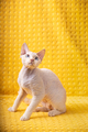 White Devon Rex Kitten Kitty. Short-haired Blue-eyed Cat Of English Breed On Yellow Plaid Background - PhotoDune Item for Sale