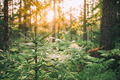 Spiders Web Hanging On Young Green Fir Tree In Forest During Sunny Summer Evening - PhotoDune Item for Sale